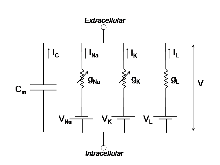 RC circuit diagram of neuron