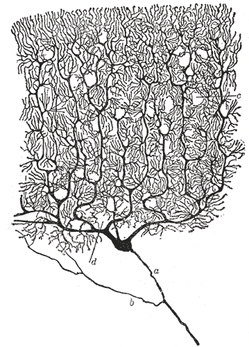 Cajal drawing of Purkinje cell