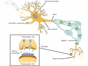 Anatomy diagram of a neuron