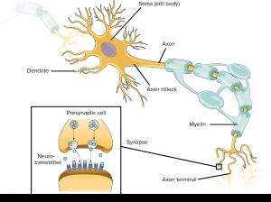 Anatomy diagram of a neuron
