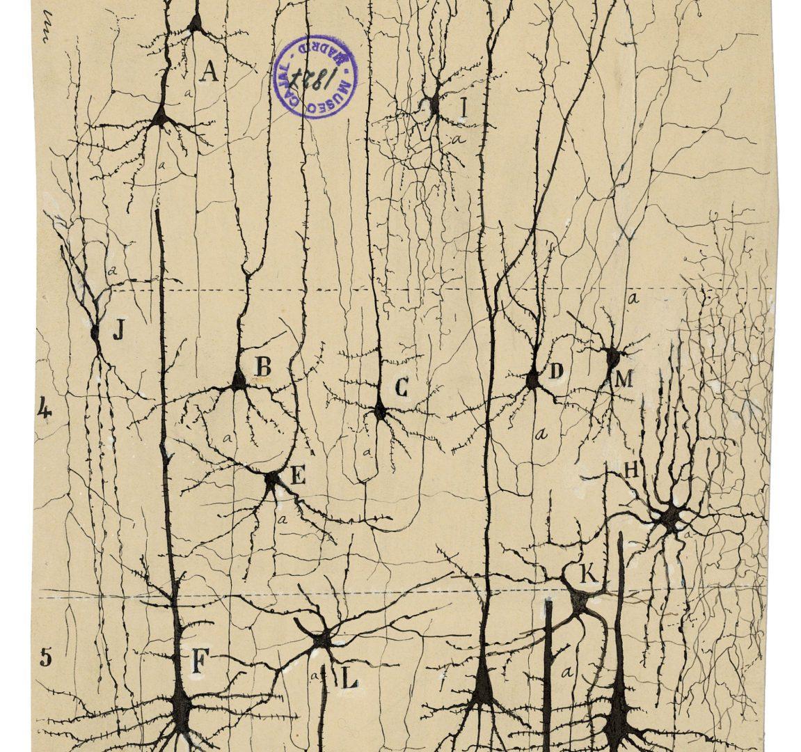 pyrimidal neurons