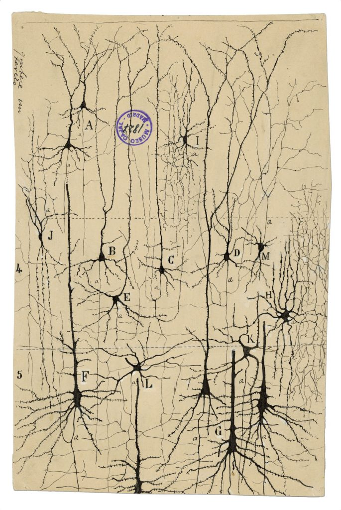 pyrimidal neurons